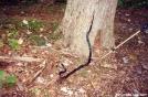 Black Snake by Uncle Wayne in Snakes