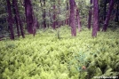 Ferns on Springer Mountain by Uncle Wayne in Springer Mtn Gallery