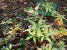 Indian Cucumber Root by Uncle Wayne in Flowers
