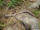 Little one by Tuxedo in Snakes