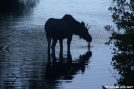 Moose Silhouette by Mouth in Wildlife (contest)