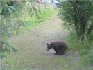 Bear on the trail. by Cuffs in Bears