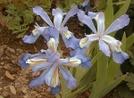 4-merous iris by emerald in Flowers