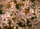 sticky catchfly by emerald in Flowers