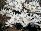 Twinleaf by emerald in Flowers