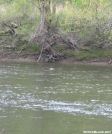 duck on Housatonic River by Askus3 in Birds