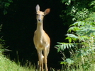 Deer in the Headlights 5-28-06 by Pedaling Fool in Deer