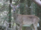 Deer had a rough winter by Pedaling Fool in Deer