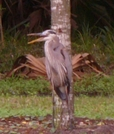 Heron by Pedaling Fool in Other Trails