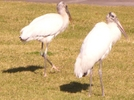 Wood Storks by Pedaling Fool in Other Trails
