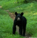 Young Black Bear Hiking AT by vanwag in Wildlife (contest)