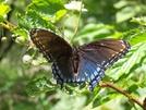 Great Butterfly