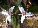 Painted Trillium Ii by Belgarion in Flowers