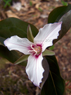 Painted Trillium I by Belgarion in Flowers