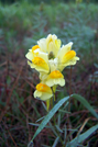 Butter And Egg Wildflower by Belgarion in Flowers
