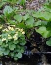 Marsh Marigolds by Birdny in Flowers