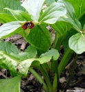 Red Trillium by Birdny in Flowers