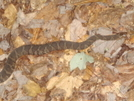 Banded Water Snake by Tipi Walter in Snakes