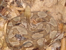 Copperhead On The South Fork