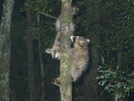 Two Raccoons In Camp by Tipi Walter in Other