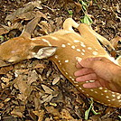 Comforting A Dying Fawn