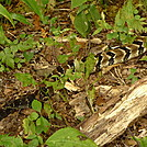 Timber Rattlesnake in the Citico by Tipi Walter in Snakes