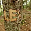 An Idiot Girdles A Living Fir Tree