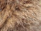 Woolly Mammoth Closeup