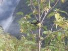South Island Tomtit