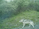 Denali N.p. 2008 Wolf 2 by camojack in Special Points of Interest