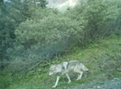 Denali N.p. 2008 Wolf by camojack in Special Points of Interest