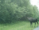 Moose Along Tony Knowles Coastal Trail 2 by camojack in Special Points of Interest