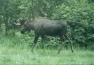 Moose Along Tony Knowles Coastal Trail by camojack in Special Points of Interest
