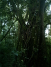 Big Tree Along Wilford Guindon Trail by camojack in Special Points of Interest