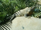 Big Iguana by camojack in Special Points of Interest