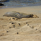Hawaiian monk seal on Ni'ihau