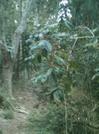 Muliwai Trail Coffee Tree