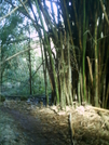 Hanakapi'ai Falls Trail - Stand Of Bamboo by camojack in Special Points of Interest