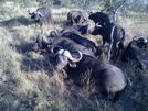 S. African Safari 2011 - Water Buffalo by camojack in Special Points of Interest