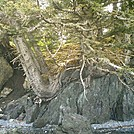 Spruce Island Alaska - hike to Ouzinkie, trees growing over rock by camojack in Special Points of Interest