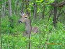 Deer by Peanut in Deer