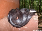 Black Snake On Shelter Guard by elray in Wildlife (contest)
