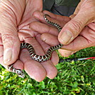 Milksnake? by elray in Snakes