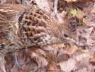 Ruffed Grouse by mountain squid in Birds