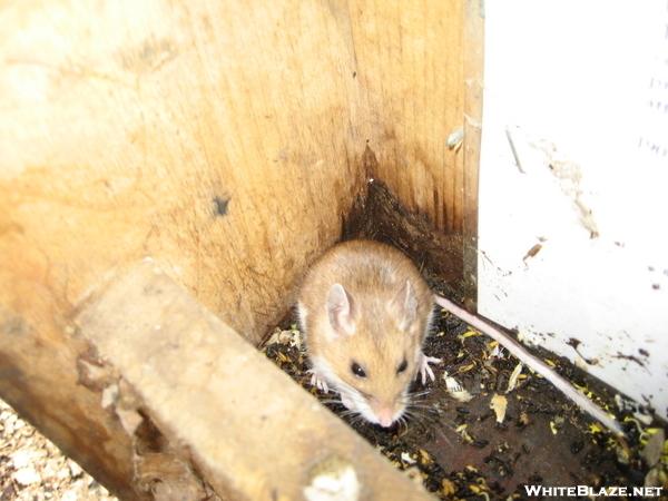 Shaker Campsite Mouse