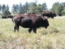 Bison at Custer State Park, South Dakota