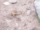 Chipmunk on Mt.Lafayette Fall2007 by Cosmo Rules in Other
