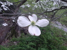 Dogwood Tree In Ny by MistressJenkins in Trail & Blazes in New Jersey & New York