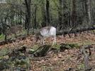Piebald Deer by MistressJenkins in Trail & Blazes in Virginia & West Virginia