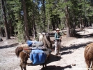 PCT Trail Maintainer with Llamas by MOWGLI in Pacific Crest Trail